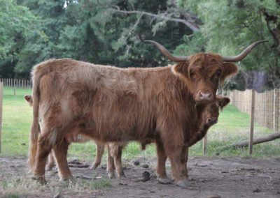 Anna Belle Highland Cattle
