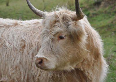 Celine Highland Cattle